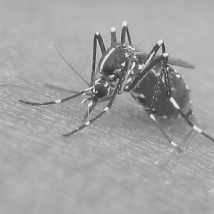 Mosquito-feeding_bw