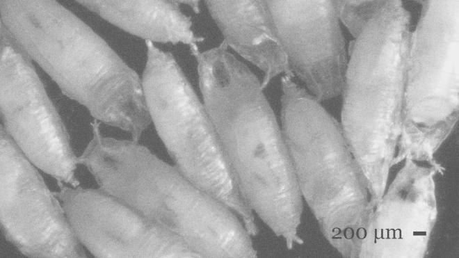 Beauty of Maggots 006